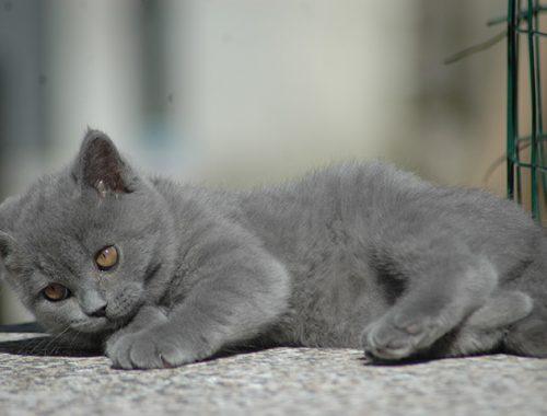 Ciopy e Cioco Cattery - British Cat