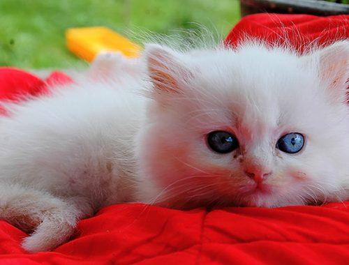 Ciopy e Olly Cattery - British Cat